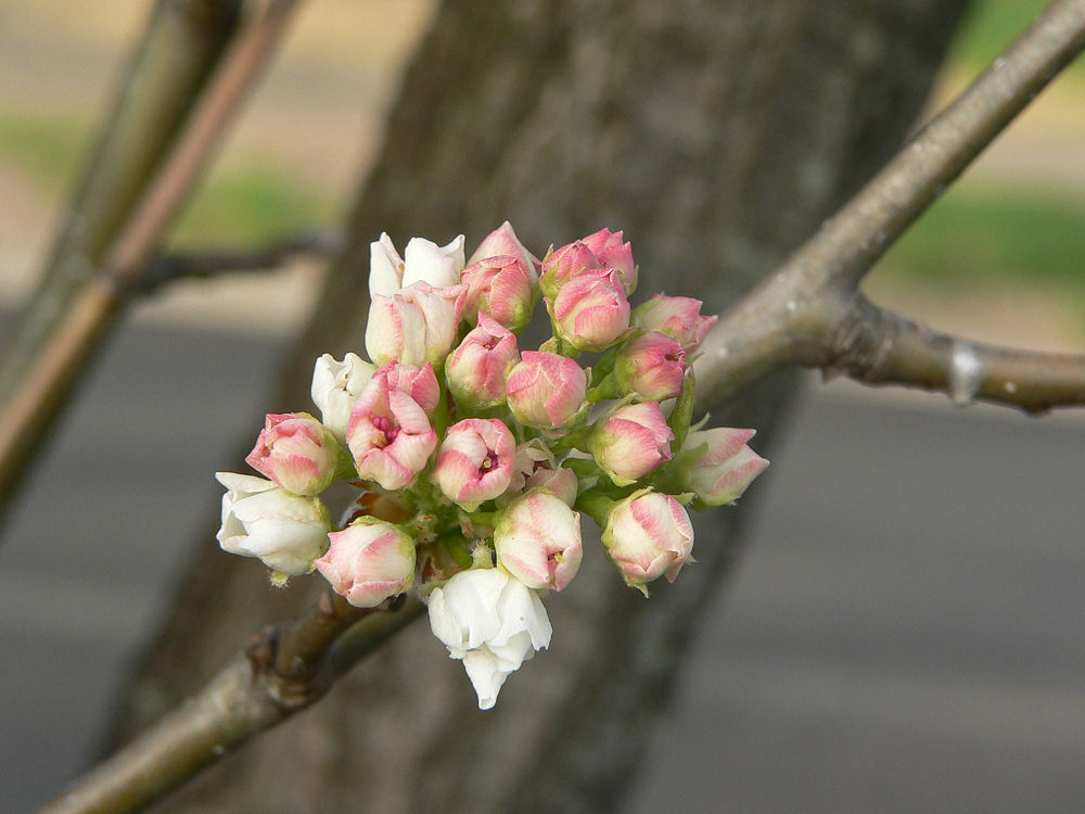 Looking like a bridal bouquet, buds cluster on a flowering tree