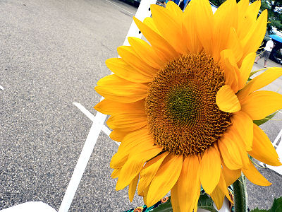 Sunflower at the Market